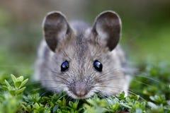 φοβησμένο ποντίκι δάσος Στοκ εικόνες με δικαίωμα ελεύθερης χρήσης