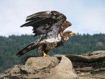 未成熟的白头鹰离开 免版税图库摄影