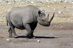 黑色犀牛-纳米比亚 免版税库存图片