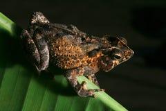 热带两栖有顶饰森林晚上雨的蟾蜍 免版税库存照片