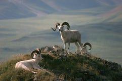 阿拉斯加野绵羊 库存照片