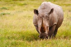 белизна носорога Стоковое Изображение RF