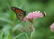土蜂蝴蝶 库存图片