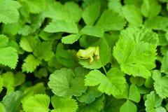 лягушка малая Стоковые Изображения