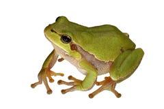 青蛙结构树 库存图片