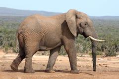 африканский слон быка Стоковые Фото