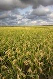 ρύζι συγκομιδών Στοκ εικόνες με δικαίωμα ελεύθερης χρήσης