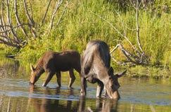 母牛麋和小牛提供 免版税库存图片