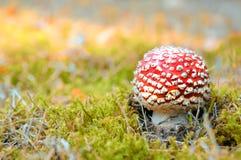 秋天森林一点蘑菇红色 免版税库存照片