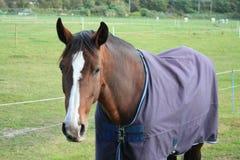 коричневая лошадь Стоковые Изображения