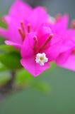 九重葛粉红色 免版税库存照片