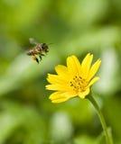 полет пчелы Стоковая Фотография