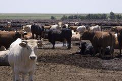 肉肥育场得克萨斯 免版税库存照片