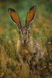被盯梢的黑色长耳大野兔 免版税库存照片