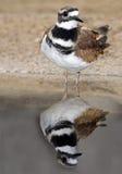 双胸斑沙鸟 免版税库存照片
