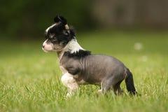 中国有顶饰无毛的小狗 免版税库存图片