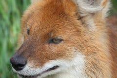 狐狸题头 库存图片
