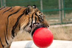 шарик его тигр рта Стоковое фото RF