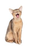 打呵欠的猫 免版税库存图片