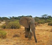 非洲大象草原肯尼亚 免版税库存照片