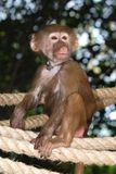 孤立猴子 免版税库存图片