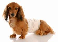 προσοχή κτηνιατρική Στοκ Εικόνα