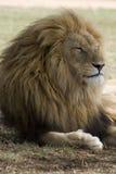 狮子男休息 库存图片