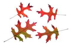 秋天查出叶子橡木 免版税图库摄影