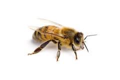 εργαζόμενος μελισσών Στοκ Εικόνα