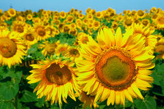 голубые солнцецветы неба поля Стоковые Изображения RF
