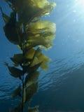 叶状体海带 库存图片