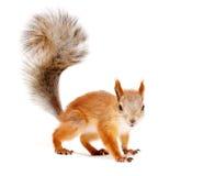 红松鼠 库存照片