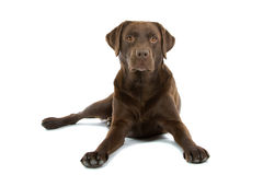 σκυλί Λαμπραντόρ σοκολάτ Στοκ φωτογραφίες με δικαίωμα ελεύθερης χρήσης