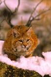 多雪美洲野猫的岩石 图库摄影