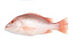 鱼红鲷鱼 库存照片