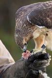 鹰红色尾标 免版税库存照片