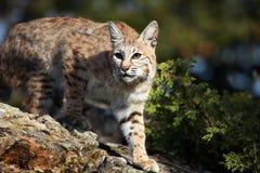 成人美洲野猫 图库摄影