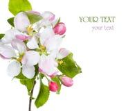 цветение яблока Стоковые Изображения