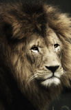 狮子纵向 库存照片