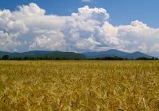 пшеницы России поля зрелые Стоковое Фото