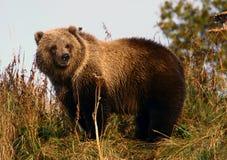 熊棕色警察科迪亚克熊 库存图片