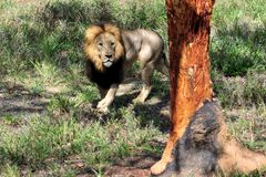 мужчина льва Стоковая Фотография RF