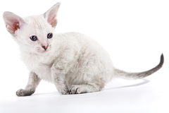 小猫东方人 库存照片