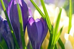 близкая весна крокуса вверх Стоковое фото RF