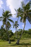佛罗里达热带翅棕榈的结构树 库存图片