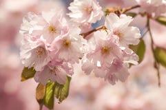 樱桃日本人结构树 免版税库存照片