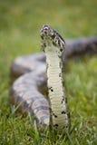 蟒蛇嗅 免版税库存图片