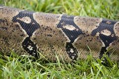 蟒蛇皮肤 免版税图库摄影