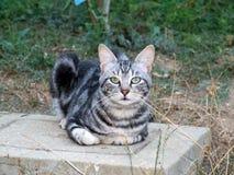 猫灰色 免版税库存照片