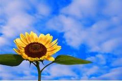 天空向日葵 免版税库存照片